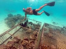 厨师岛民人在Raroton检查巨型蛤蜊的情况 免版税图库摄影