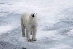 去在浮冰块的湿北极熊在北极海 免版税库存图片