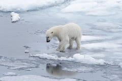 去在浮冰块的湿北极熊在北极海 免版税图库摄影