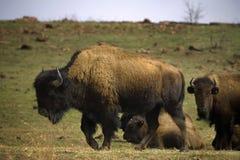 去年冬天北美野牛草 免版税库存图片