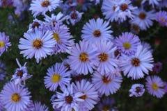 去年秋天花在庭院里开花 免版税图库摄影