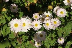 去年秋天花在庭院里开花 库存照片