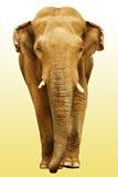 去往的大象 免版税库存照片