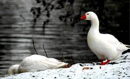 去沿河掠过的一只雄鹅的 库存图片