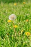 去的Dandilion在春天草坪播种 库存图片