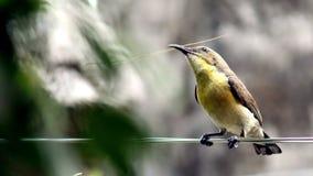去美丽的哼唱着的鸟准备她的巢 免版税图库摄影