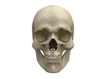 去骨前面人力头骨视图 库存图片