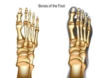去骨脚 向量例证