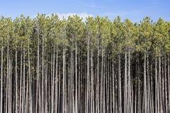 参天的杉木森林 免版税库存图片