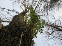 参天的结构树 库存照片