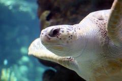 参见乌龟 免版税库存图片