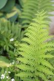 参观温哥华的豪华的蕨森林!温哥华位于不列颠哥伦比亚省加拿大! 库存图片