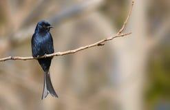 叉子被盯梢的燕卷尾在克鲁格公园 免版税图库摄影