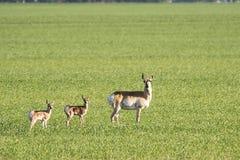 叉角羚羊家庭在大草原的 免版税库存图片