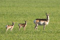 叉角羚羊家庭在大草原的 免版税库存照片