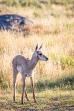叉角羚羊小鹿 免版税图库摄影