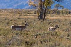 叉角羚羊母鹿和小鹿 免版税库存图片