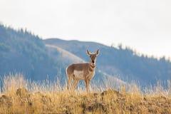 叉角羚羊母鹿 库存照片