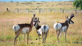 叉角羚羊牧群在科罗拉多 图库摄影