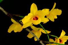 叉骨禽花,泰国的黄色兰花 库存照片