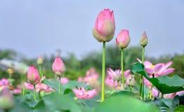 及早升起莲花芽的太阳  免版税库存照片