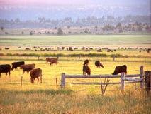 及早吃草早晨的牛 免版税图库摄影