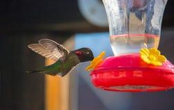 及早哺养的蜂鸟 免版税库存照片