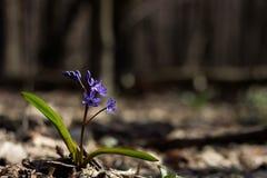 及早开花的植物Scilla bifolia在森林在太阳的早期的光芒被覆盖,给对新的起点的希望 免版税图库摄影