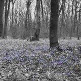 及早春天花森林沼地  Scilla西伯利亚地毯  库存图片