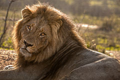及早狮子王上午 库存照片