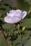 及早紫色兰花(Orchis mascula) 库存照片