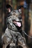 友好混杂的品种狗纵向在森林里 免版税库存图片