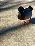 友好的喷泉鸭子 库存图片