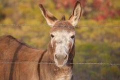 友好的微型驴 库存照片