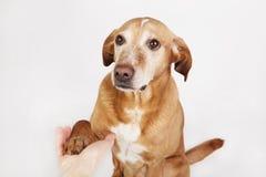 友好的手和爪子震动,一条棕色狗 免版税库存照片