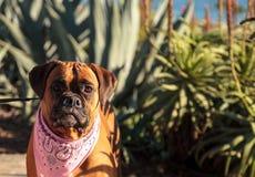 友好的拳击手狗 免版税库存图片