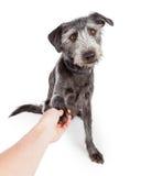 友好的狗与人握手 免版税库存照片