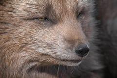 友好的白狐在西峡湾区冰岛 免版税库存图片