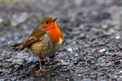友好的美丽的知更鸟 免版税库存照片