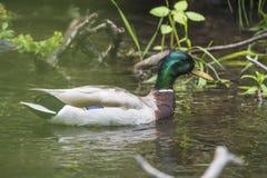 友好的鸭子游泳  库存图片
