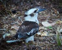 友好的Kookaburra,背面图,水平 免版税库存照片