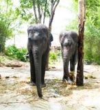 双大象 图库摄影