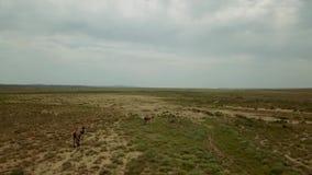 双峰的失去控制的骆驼在哈萨克斯坦干燥干草原的背景中 影视素材