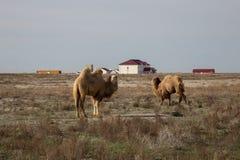 双峰的骆驼在一个村庄的背景中哈萨克人的烘干干草原 免版税库存图片