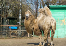 双峰的骆驼在动物园里 免版税库存图片