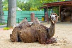 双峰的骆驼在沙子说谎 Nizhny Novgorod俄国 库存照片