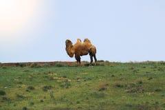 双峰的骆驼站立在干草原 库存照片