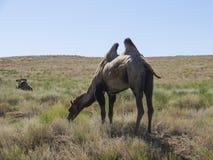 双峰的骆驼 库存照片