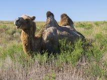 双峰的骆驼 库存图片