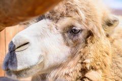 双峰驼动物 免版税库存图片